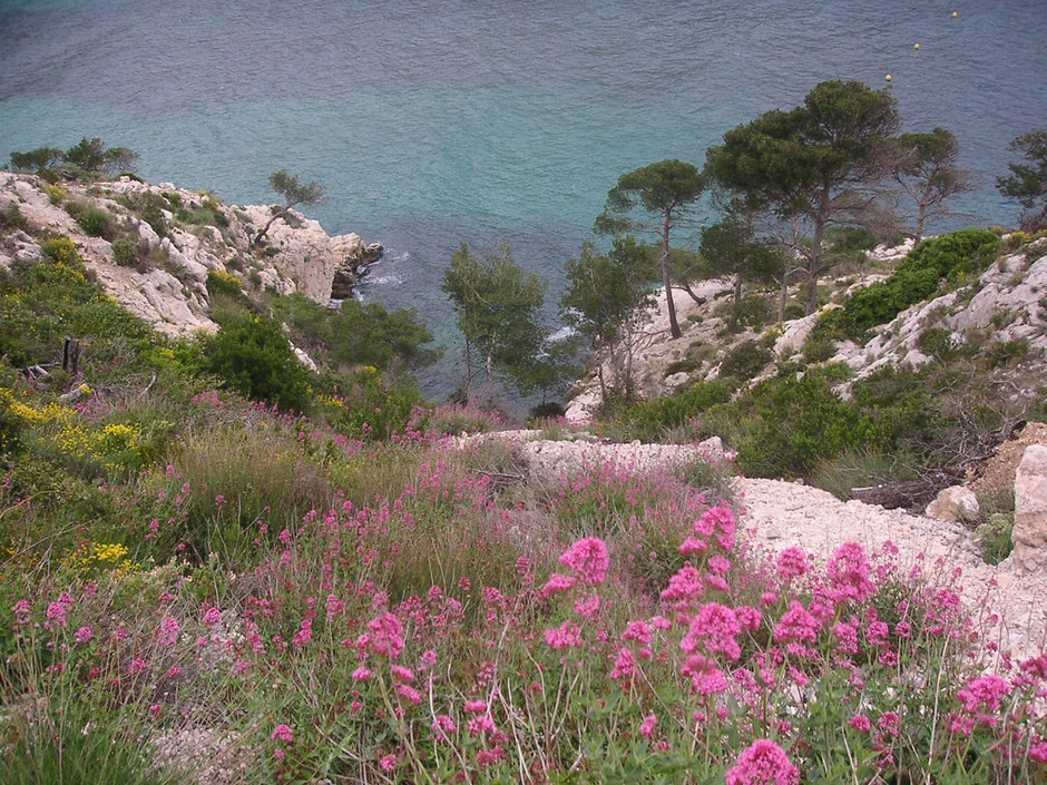 Fleurs de nos calanques marseillaises.